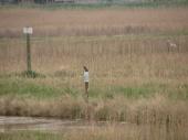 Martin pescatore e airone bianco